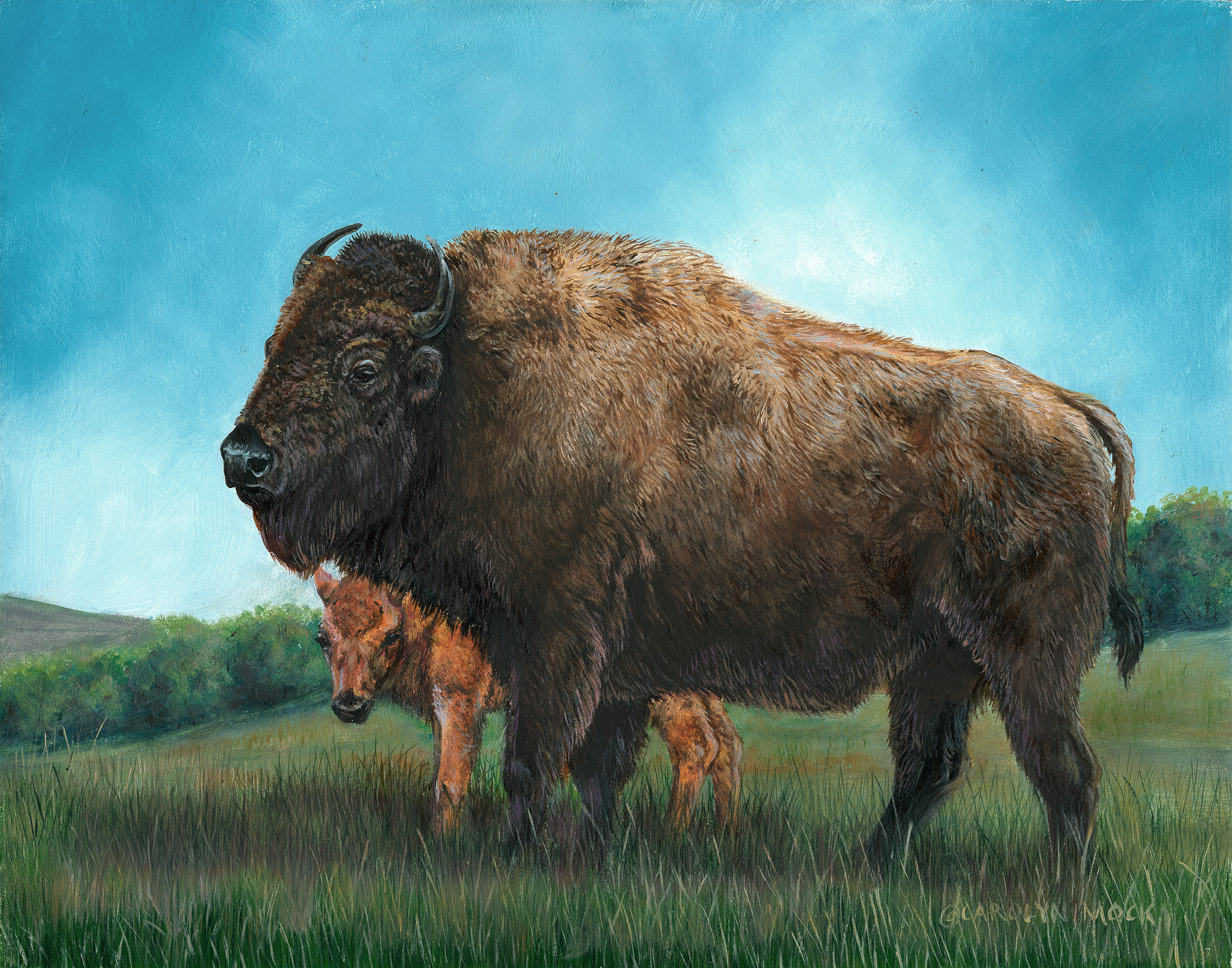 A bison calf peeks around from it's parent