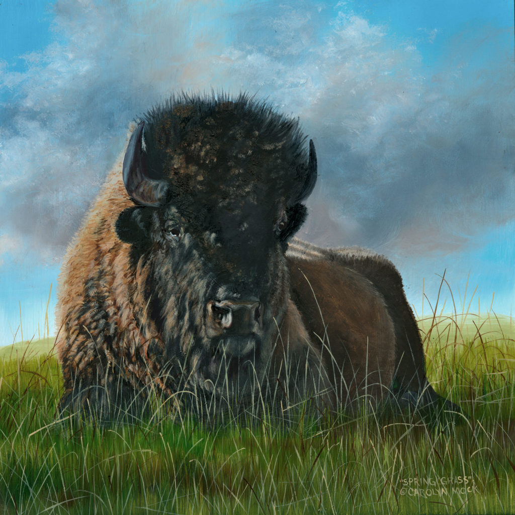A bison rests in a grassy field