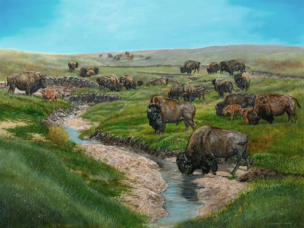 A herd of bison enjoy the fresh spring water in a stream
