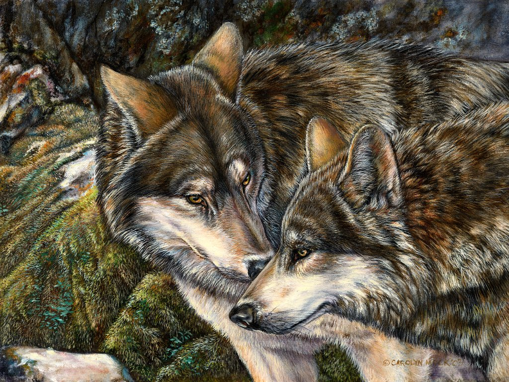 A pair of wolves nuzzle each other in a field
