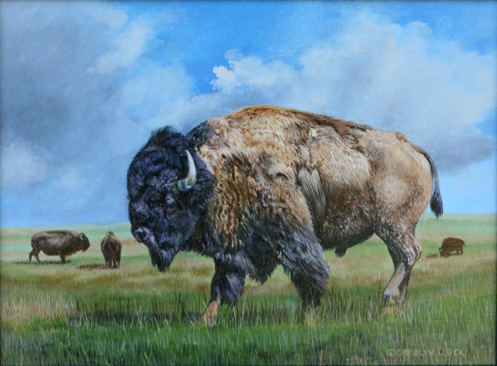 A bison grazes in an open field with it's herd